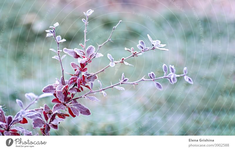 Hoarfrost on red leaves of barberry, Berberis. First frosts. Early winter. leaf berberis frozen berberis thunbergii natural background autumn white frosty color