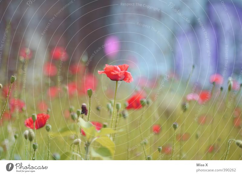 poppy Plant Spring Summer Flower Blossom Garden Blossoming Red Growth Poppy Poppy blossom Poppy field Flower meadow Colour photo Multicoloured Exterior shot