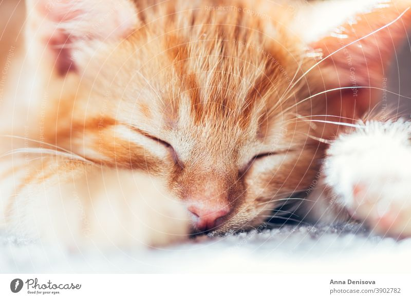 Cute ginger kitten sleeps cute cat relax sun pet baby home cozy comfort resting fluffy sleeping kitty adorable child collar little animal warm comfortable paw