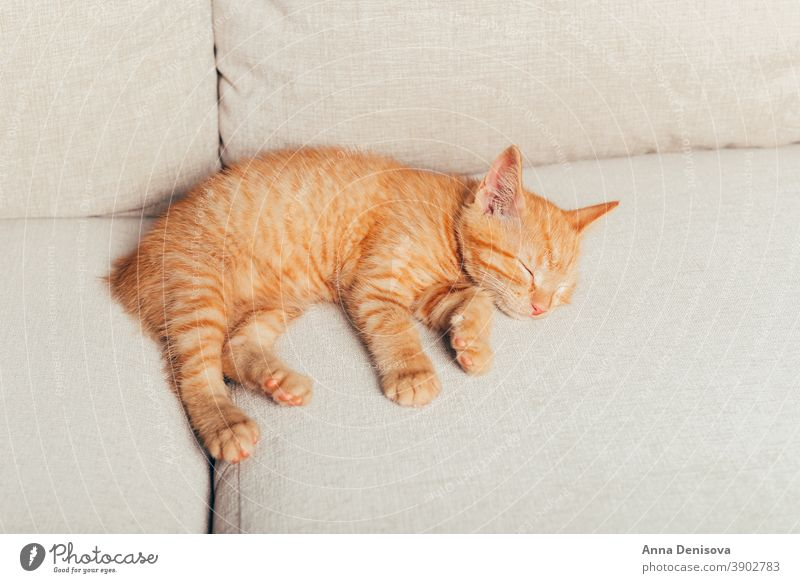 Cute ginger kitten sleeps cute cat relax blanket pet baby home cozy comfort resting fluffy sleeping kitty adorable child collar little animal warm comfortable