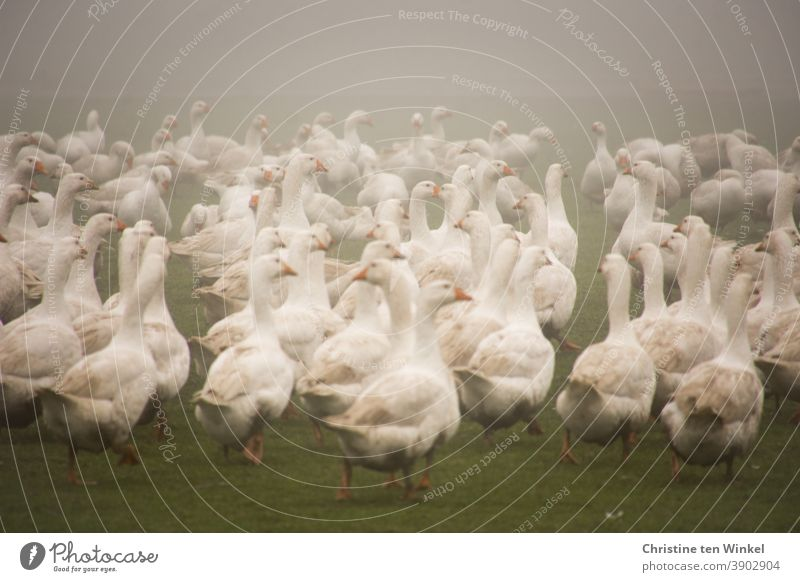 Many white geese in the fog on a meadow / 2 Goose Meadow Goose meadow Fog Poultry Poultry farm poultry yard Animal Bird Farm animal White Animal portrait