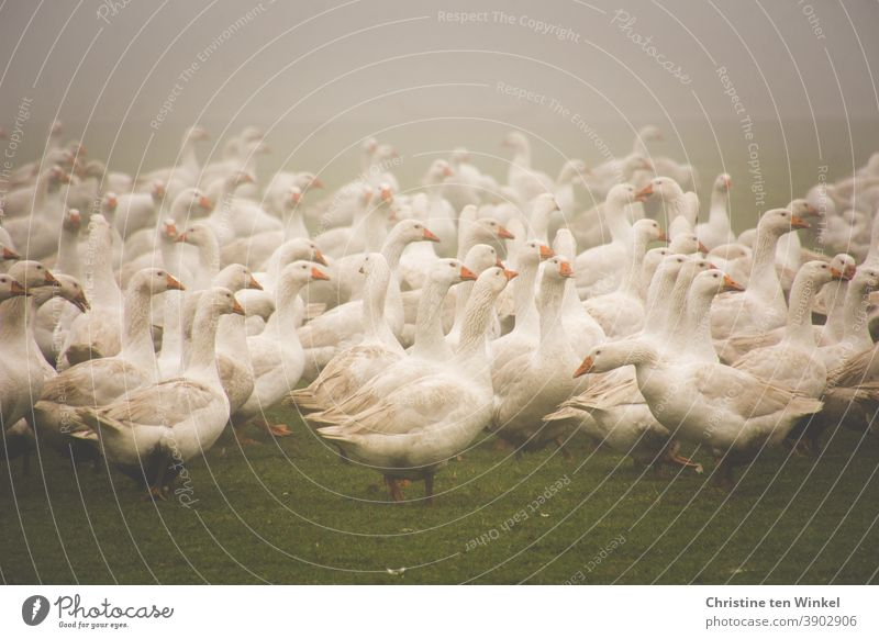 Many white geese in the fog on a meadow / 1 Goose Meadow Goose meadow Fog Poultry Poultry farm poultry yard Animal Bird Farm animal White Animal portrait