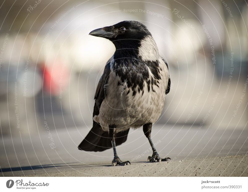 Caw City Animal Environment Life Power Stand Wait Free Feather Concrete Observe Soft Curiosity Serene Trust Near