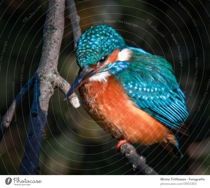 Kingfisher in the evening light kingfisher Alcedo atthis Head Eyes Beak feathers plumage Claw Grand piano Bird Animal Wild animal Animal portrait