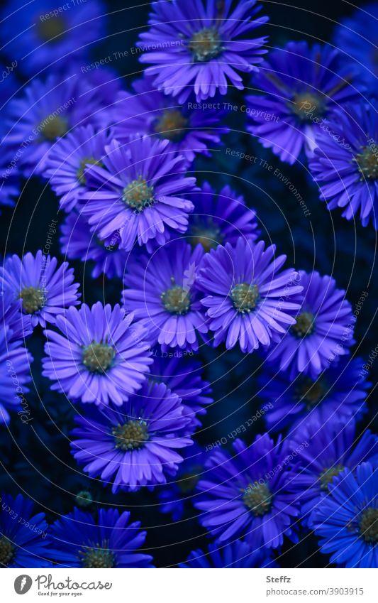 purple mood for the autumn autumn asters Aster deep violet purple flowers purple petals Violet blooming autumn flowers blooming garden flowers Blossoming