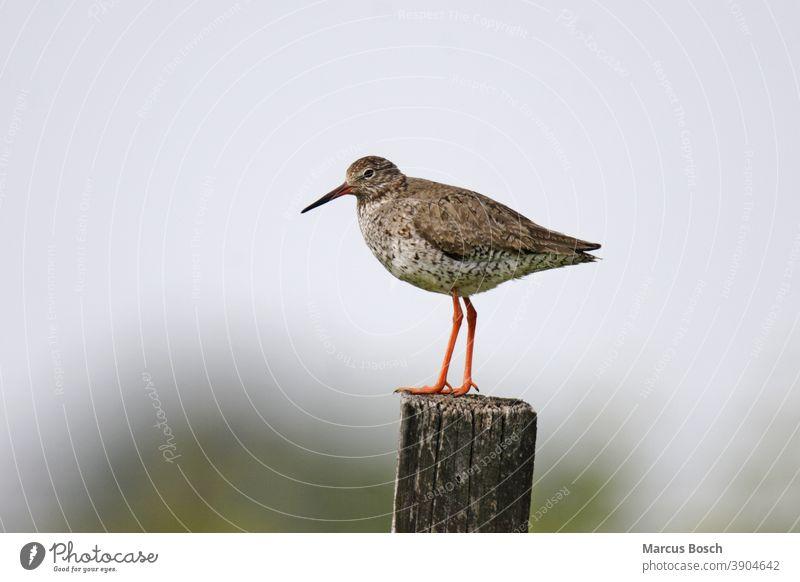 Rotschenkel, Tringa totanus, common redshank Ausschau Common Common Redshank Limikole Limikolen Watvogel Watvoegel Redshanks Regenpfeiferartige Schnepfenvogel