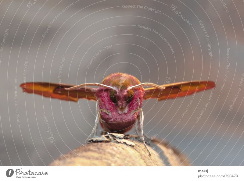 Big Brummer landed Animal Wild animal Animal face Wing Butterfly Insect Feeler Eyes 1 Observe Relaxation Crawl Stand Exceptional Threat Dark Exotic Creepy