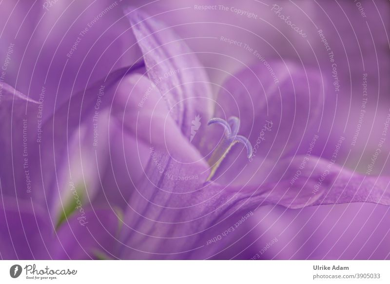 800 - Purple macro flower of bellflowers ( Campanula ) Bluebell Blossom Flower Colour photo Plant Blossoming Nature Deserted Close-up Violet Spring Garden