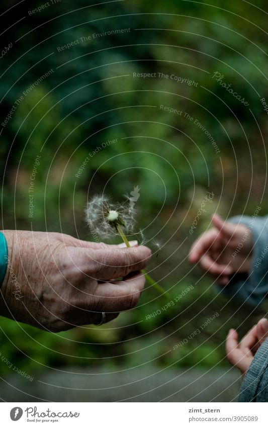 Granny and grandson with dandelion Old Hand Hand with age spots little hand Children`s hand Generations Inter-generation contract detachment proximity corona