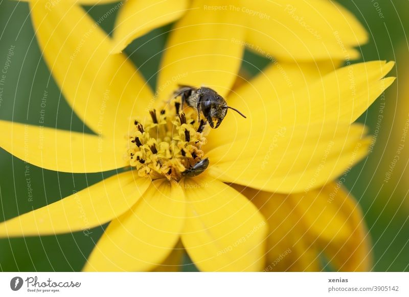 Solitaire bee on a yellow blossom girl's eye Bee Blossom Flower Insect Coreopsis Yellow Plant Animal Nature xenias Diligent Summer