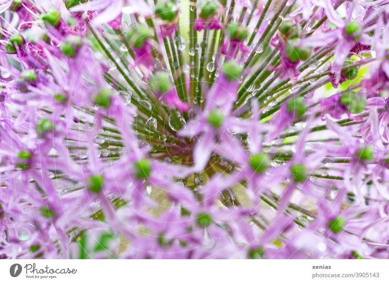 Pink ornamental garlic with drops of water blossoms star-shaped Flower Spring Plant xenias blurriness Green rays Drop allium