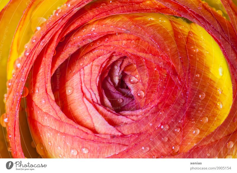 colour combination / macro shot of a red - yellow ranunculus with water drops Buttercup Blossom Flower Red Orange Spring Plant Yellow xenias Drops of water
