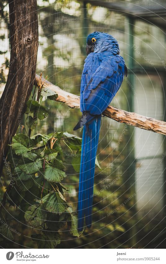 Blue macaw - blue pretty parrot - sitting on a branch and looking around Blue Macaw Parrots parrot feather Bird Feather feathers Yellow yellow eye luminescent