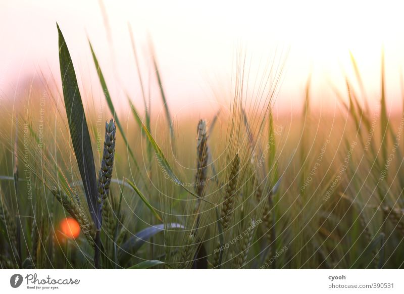 pink horizon Nature Horizon Summer Beautiful weather Warmth Plant Agricultural crop Field Touch Movement Relaxation Illuminate Growth Fresh Bright Juicy Soft