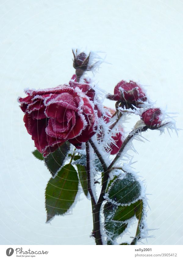 icy rose... pink Flower Blossom blossoms bud Red Frost Ice Winter onset of winter Ice crystal eiskalr Plant Cold Frozen Hoar frost White Freeze