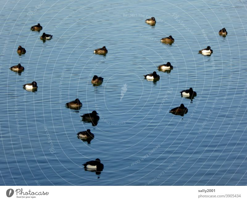 winter siesta with the ducks.... Duck Sleep Lake tranquillity Many group Family Siesta Relaxation Animal Break Fatigue birds waterfowls Water Calm Pond