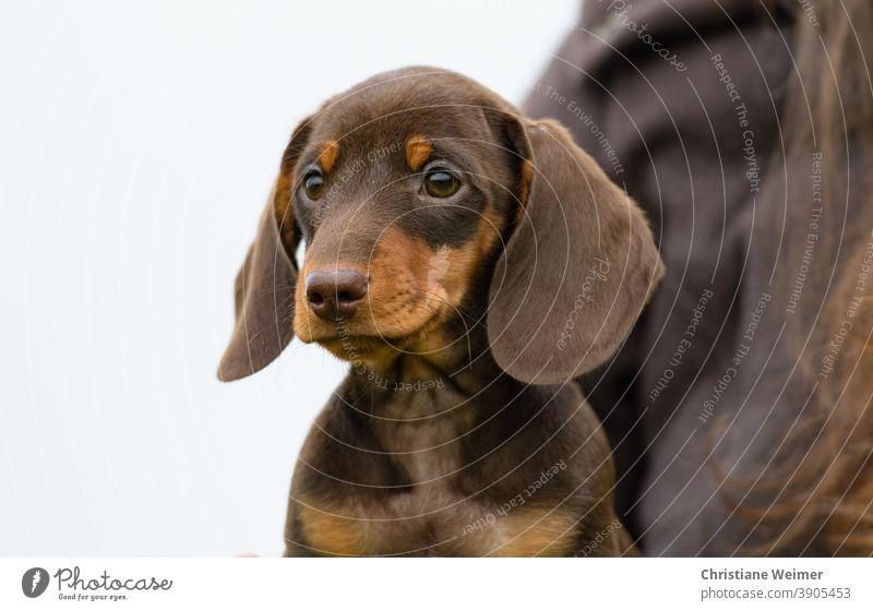 Dachshund puppy brown dachshunds Puppy Brown Dog Animal Pet Mammal Puppydog eyes Puppy dog look youthful Baby Cute kind faithful Affectionate Small