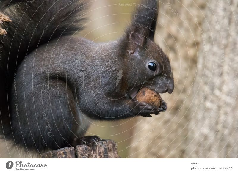 European brown squirrel in eats a nut on a branch in the forest Background Sciurus vulgaris animal branches copy space cuddly cuddly soft cute european squirrel