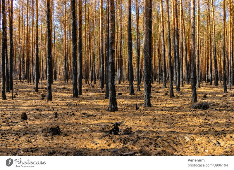 Forest after a forest fire near Jüterbog and Luckenwalde Woodground Burnt Summer Forest fire Tree trees Dead trees charred Nature Environment Disaster corrupted
