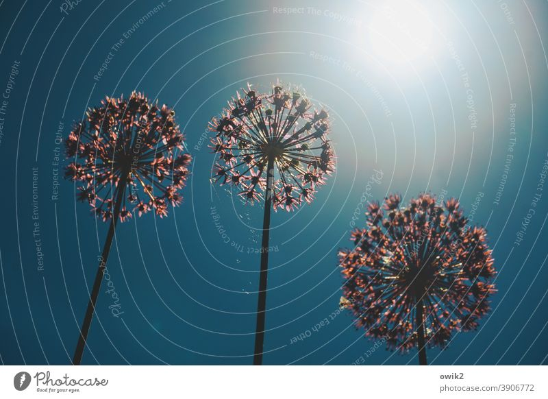 Replacement fireworks Flower Blossom Exotic Stand Round Tall Together Growth Agreed Life Curiosity Hope ornamental garlic Blue sky Turquoise Violet Blossoming