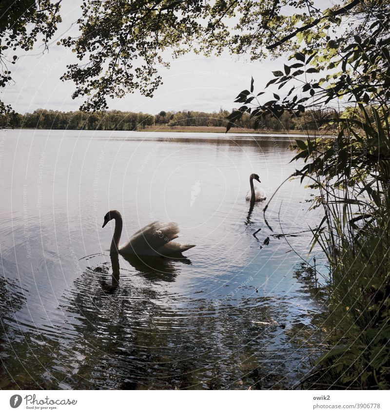 scenery Swan Wild animal Pair of animals Animal portrait Dreamily 2 Elegant Together Serene Movement Patient Calm Idyll Contentment Nature Environment