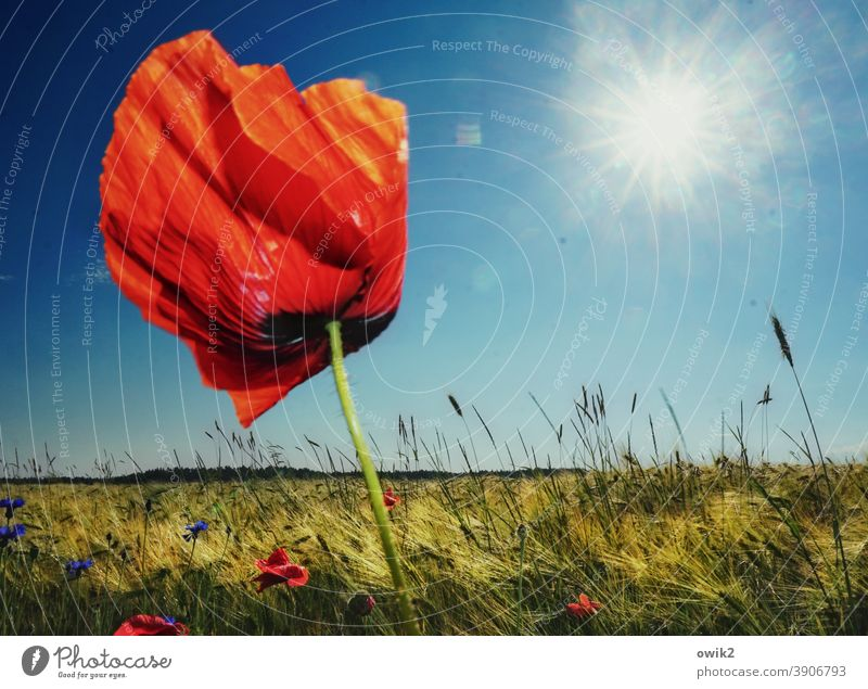 red bull Poppy blossom Poppy leaf Colour photo Close-up Detail Deserted Copy Space top Day Sunlight Back-light Idyll Intensive Landscape Plant Spring Wild plant