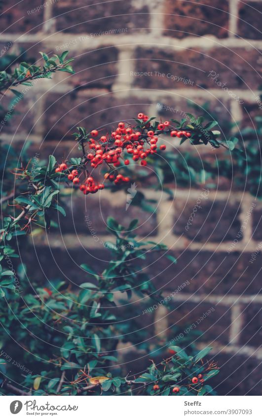 Autumn berries and an old wall Burning bush Autumn Berries red berries Berry bush Wall (barrier) bricks Wall (building) demarcation Fence Old dark green leaves