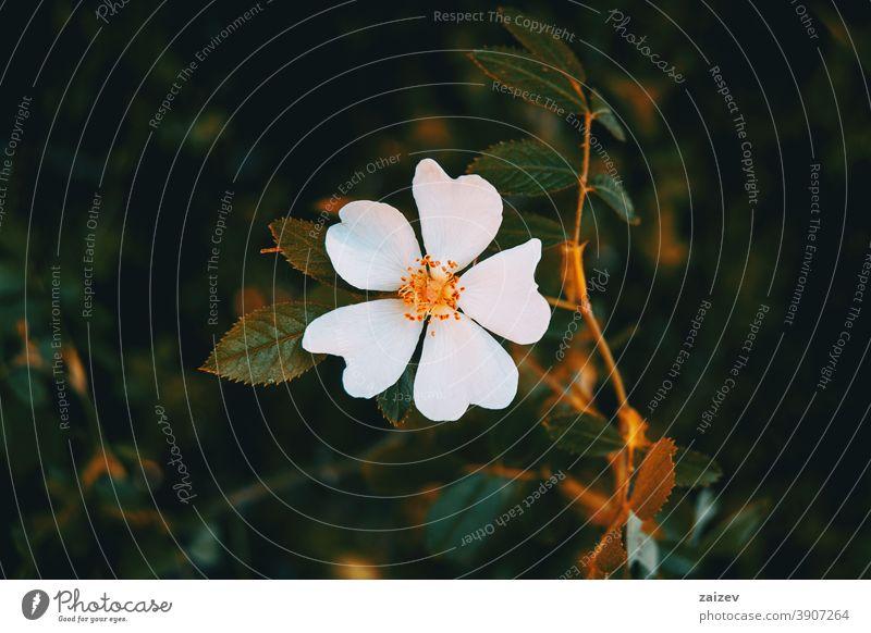 Detail of a white flower of cistus salviifolius nature vegetation natural blossom flowered flourished botany botanical petals blooming closeup detail macro