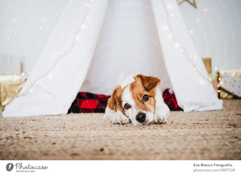cute jack russell dog at home standing with Christmas decoration. Christmas time christmas teepee december adoption indoor pet studio red santa present