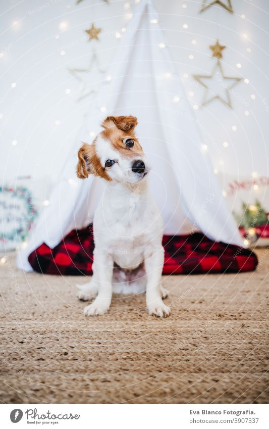 cute jack russell dog at home with Christmas decoration. Christmas time christmas teepee december adoption indoor pet studio red santa present beautiful
