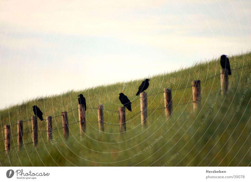 ravens Raven birds Marram grass Bird Black Grass Transport Beach dune