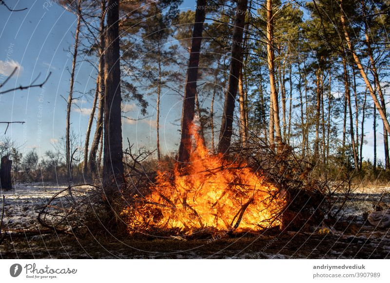 big bonfires or campfire burning in the winter forest on sunny day. Fire in nature. wood flame fireplace tourism blaze protect landscape smoke firewood cold