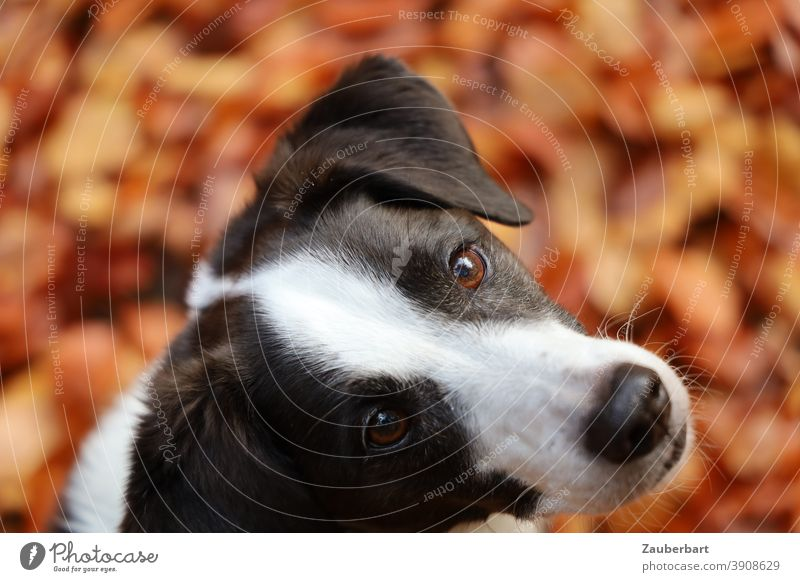 Dog look, head of a dog with black and white fur Looking Puppydog eyes Black White black-white Dog's snout cute faithful Pet Animal Animal face Dog's head Snout