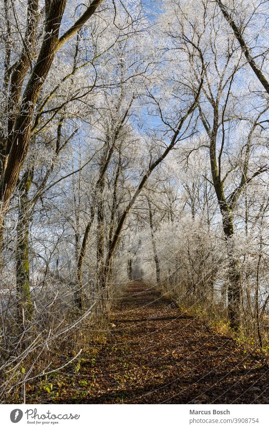 Forest path in winter Tree chill Hoar frost forest path trees Blue sky Ice Cold hoar frost off White Winter