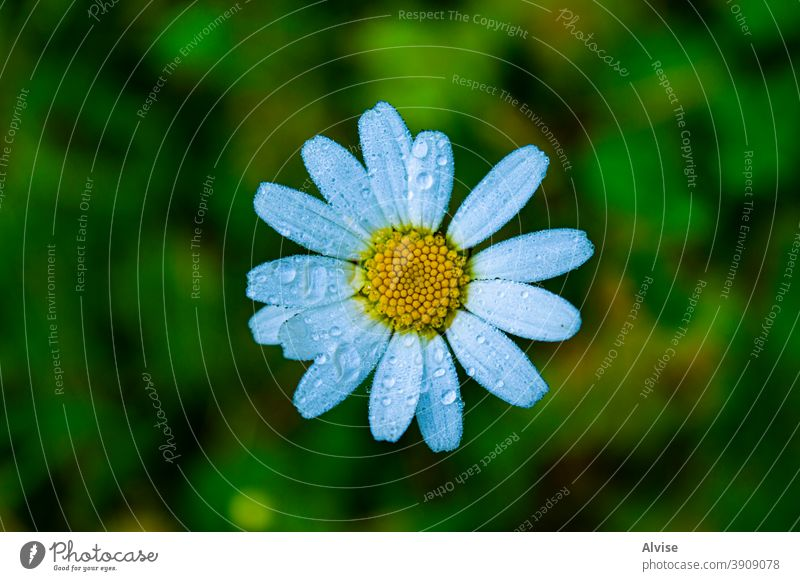 Anthemis Daisy in the morning nature plant anthemis garden green spring yellow background white flower blossom beautiful flora bright natural floral chamomile
