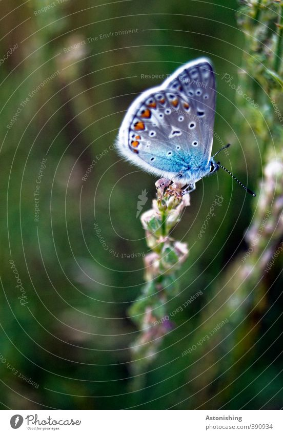 butterflies Environment Nature Plant Weather Beautiful weather Flower Grass Meadow Animal Wild animal Butterfly Wing 1 Sit Dark Blue Green Polyommatinae Feeler