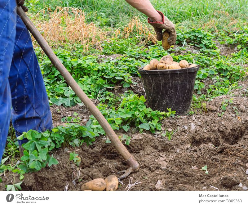 Man harvesting potatoes by hand. Agriculture. man collect take out basket rural land farm tuber food ingredients people organic sustainable pile hands picking