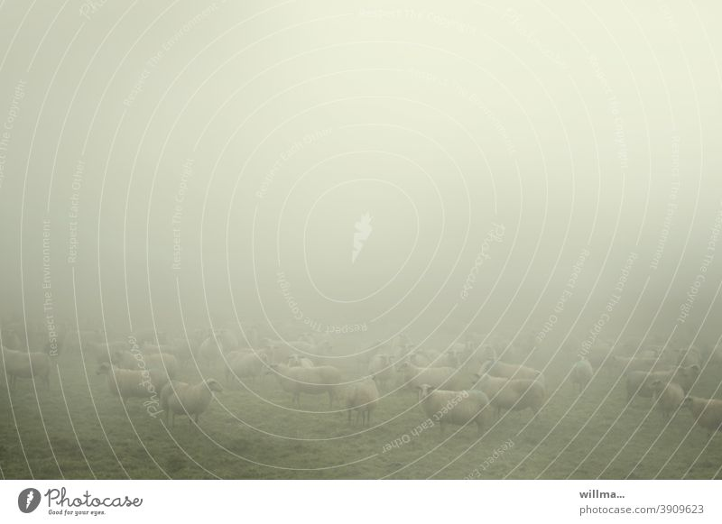 the sheep in the mist Flock herd animals Fog Herd Meadow Farm animals domestic Copy Space