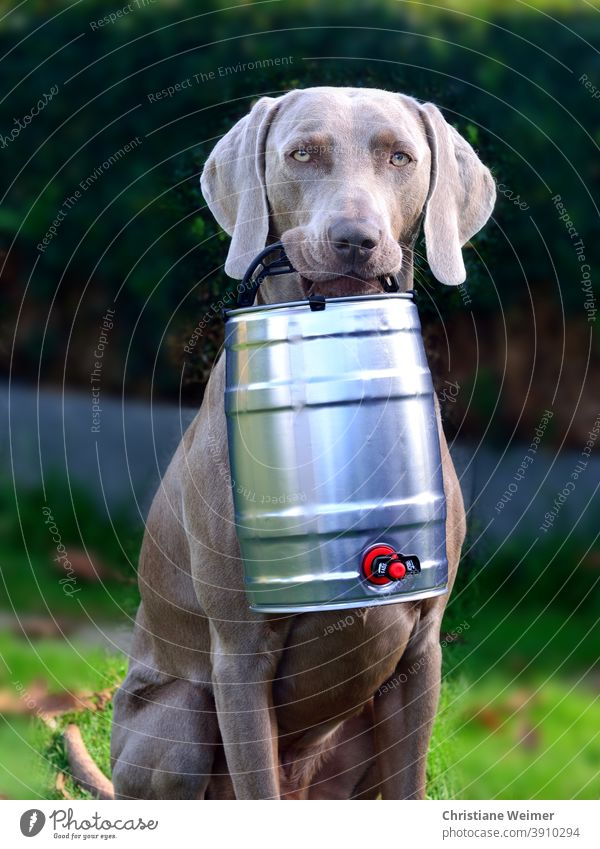 Weimaraner hunting dog retrieves beer barrel Dog Hound Beer keg Retrieve Bring Carrying stop pointing dog Gray Short-haired Noble Funny Firm man-sharp