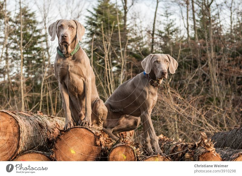 Two Weimaraner hunting dogs sitting on a stack of wood Hunting dogs animals Pointing dogs Working dogs Full service dogs man-sharp wildly sharp Obedient Complex