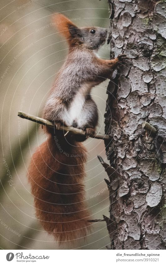 Squirrel on tree oakhorn croissant cute Pelt Cute Brown Mammal animal portrait Rodent Animal Nature Paw Tree Forest Wild animal Bushy Ear Tails Small Meadow