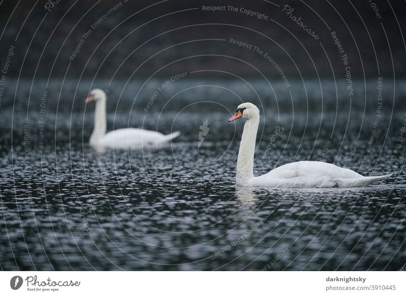 Two white feathered adult swans on a lake (Cygnus olor), pair Animal portrait Morning Copy Space right Exterior shot Emotions Love of animals White Soft Gray