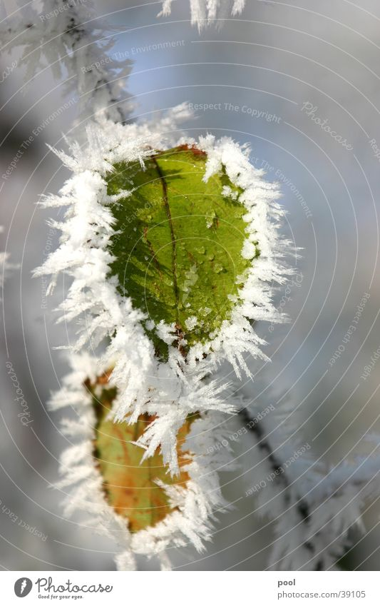 Nature Tree Green Winter Leaf Cold Snow Ice Frost Frozen Snowscape Crystal structure Hoar frost