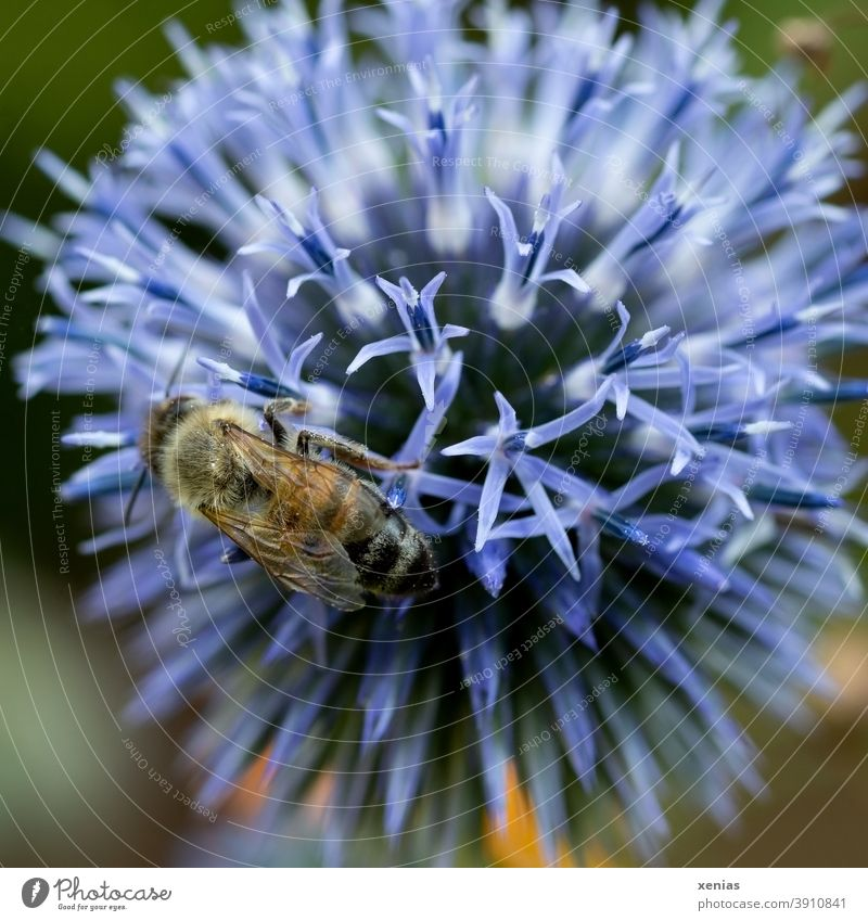 A busy bee on a purple thistle flower Bee Thistle Blossom Thistle blossom Insect Animal Summer Plant Nature Garden Violet bee deaths Honey bee Environment