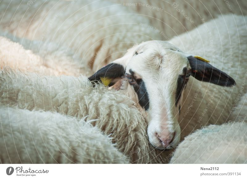White Loneliness Joy Animal Eyes Group of animals Farm Animal face Claustrophobia Zoo Sheep Farm animal Wool Herd Lamb