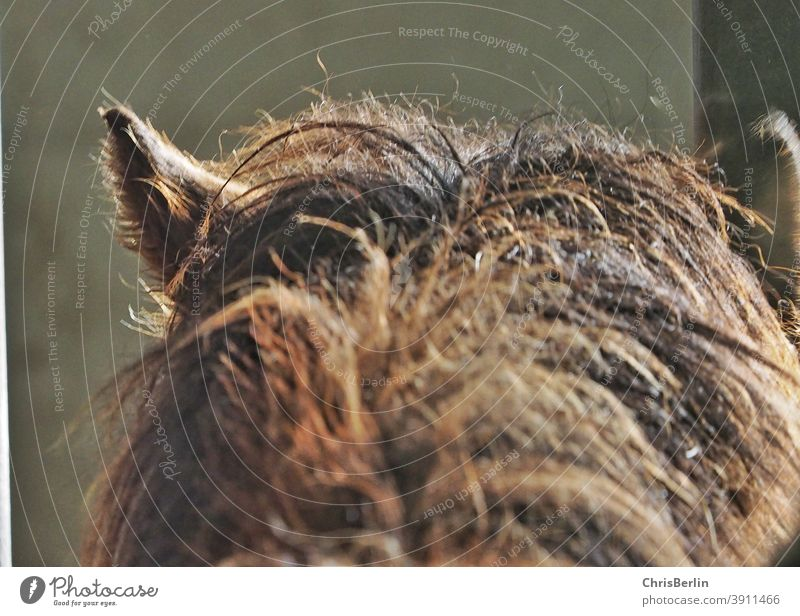 Horse head with mane Mane ears Brown Nature Colour photo Pony Pelt Animal from behind