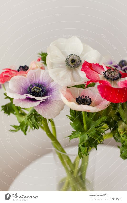 colourful poppy in a glass vase standing on a white table Poppy flowers blossoms variegated Nature Green Garden Blossom Spring Summer pretty Blossoming Deserted