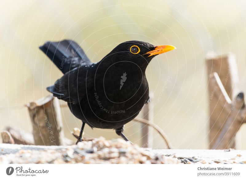 Blackbird on winter feeding Exterior shot Bird Songbirds Close-up Winter chill Cold Frosts Yellow Animal Nature Deserted Colour photo Day Wild animal