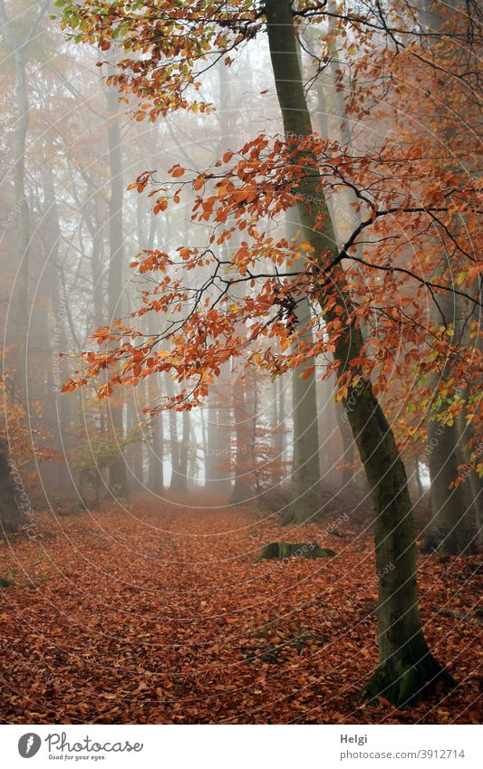 November fog in the beech forest Forest Beech wood Fog November Nebula Autumn Autumnal colours foliage leaves Tree Beech tree Woodground Mysterious opaque