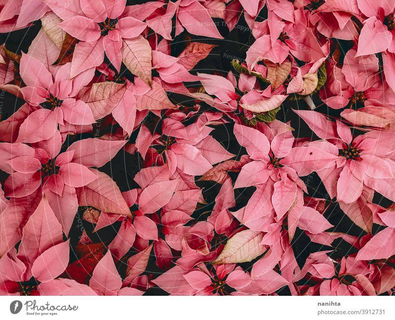 Pattern of poinsettia, the christmas flower euphorbia euphorbia pulcherrima red pink pattern texture organic flor floral decor decoration xmas plant many petal